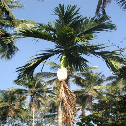 Palm Leaf Process_1_